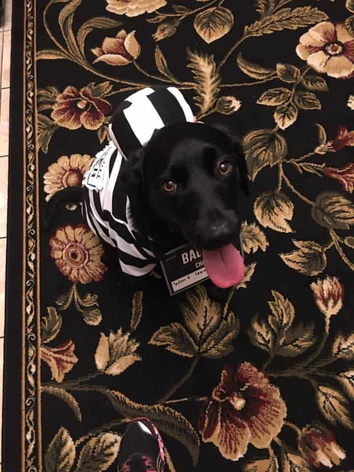 A black lab dressed as a bad pet